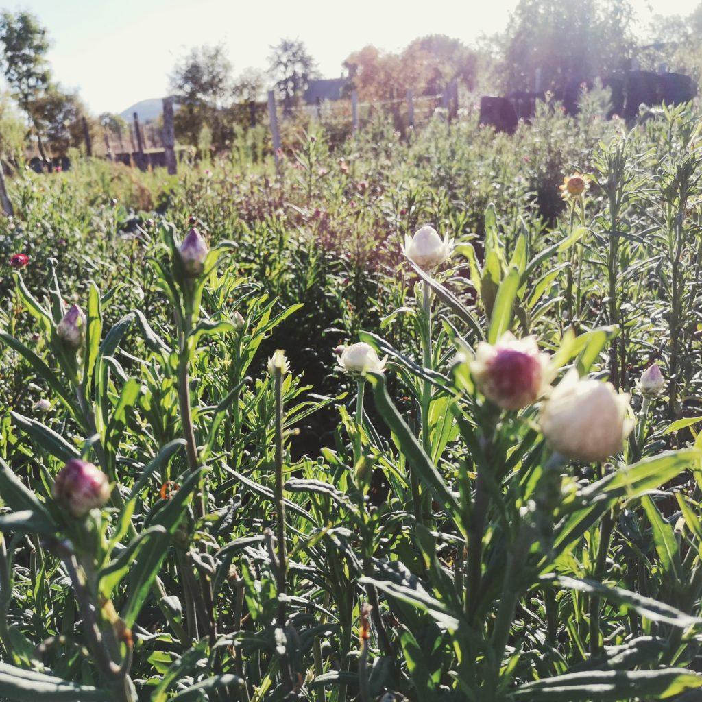 fleurs séchées cultivées